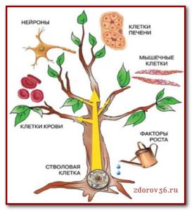 выращивание ств.клеток