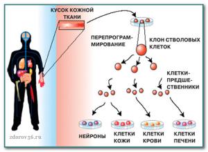 клон стволовых клеток