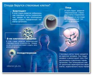 откуда берутся стволовые клетки